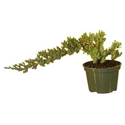 AchmadAnam - Live Plant Pre Bonsai Juniper Tree Plant Small Juniper Procumbens Nana Indoor Best Gift: Garden & Outdoor