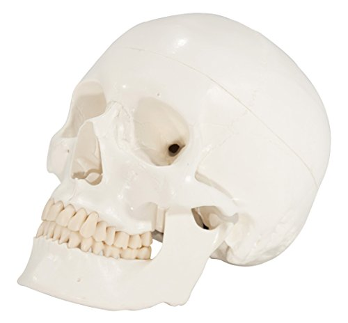 Axis Scientific 3-Part Human Skull Anatomy Model | Life Size Anatomy Skull Molded from a Real Human Skull With...