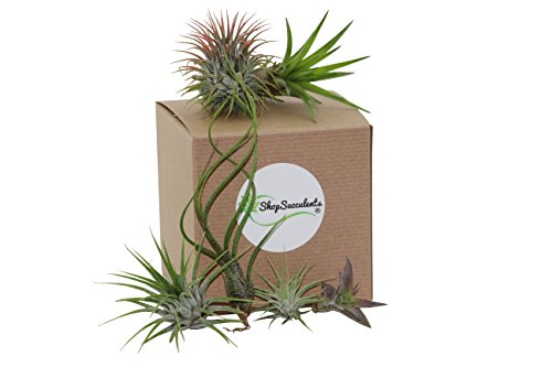 Shop Succulents Assorted Air Plant (Collection of 8) Proportion Air