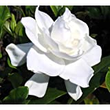 "Summer Snow Gardenia - Hardy to 0 degrees - Very Fragrant - 2.5"" Pot"