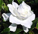 Summer Snow Gardenia - Hardy to 0 degrees - Very Fragrant - Starter Plug (LG)