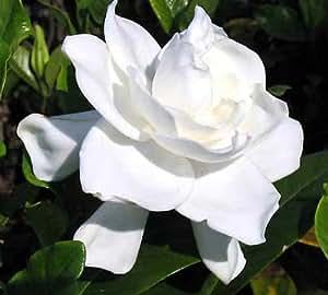 "Summer Snow Gardenia - Hardy to 0 degrees - Very Fragrant - 2.5"" Pot"