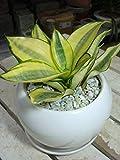 サンスベリア(虎の尾)ゴールデンハニー 丸型インテリア陶器鉢植え 受け皿付き・陶器鉢 マイナスイオン効果 ミニ観葉植物 鉢植え