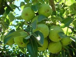 (5 gallon) BARTLETT PEAR Tree, America's Favorite Pear. Great For Eating Fresh, Canning or Preserves. Easy to Grow. Grafted.