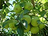 (5 gallon) BARTLETT PEAR Tree, America's Favorite Pear. Great For Eating Fresh, Canning or Preserves. Easy to Grow- Grafted.