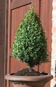 Green Mountain Boxwood - Quantity 10 Live Plants in Quart Pots by DAS Farms (No California) by DAS Farms (Image #2)