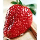 Seeds and Things Everbearing Picnic Strawberry 40 Seeds/Seed