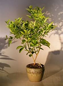 how to make orange bonsai
