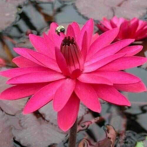 1 Live Tropical Red Flare Night Bloomer Waterlily Plant