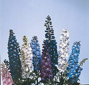 Delphinium Magic Fountain Crystal Mix 1,000 Seeds