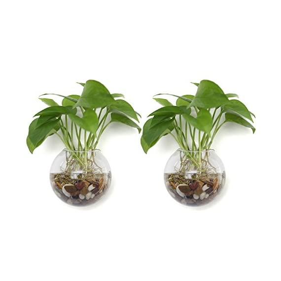 T4U Wall Mounted Glass Terrariums Pack of 2 Ball Shape 5.75 Inch, Clear Air Plant Globes Bubble Planter Hanging Flower Vase Candle Display Bowl Jars for Home Office Garden Wedding Wall Decoration Gift - Wall Decoration - Mounted on the wall, holding air plant, hydroponics plant, tealight candles or other decorative ornaments, bring unique, modern style to your home and office decoration Hanging Terrariums - Dazzle guests and family members with the modern elegance of these wall-mounted hanging terrariums Wedding Ceremony Party Decoration - The terrarium hanging globe brings elegance to wedding, ceremony and party - vases, kitchen-dining-room-decor, kitchen-dining-room - 41oM336GLDL. SS570  -