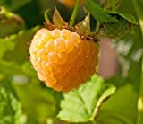 Plant a 5 Foot Row of Anne Golden Everbearing Raspberries - Large/Sweet