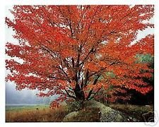 CSNCH 10 Seeds of Acer Rubrum October Glory Red Maple Tree Seeds