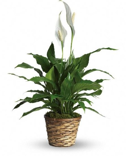 Simply Elegant Spathiphyllum - Peace Lily (Potted Peace Lily Plant)
