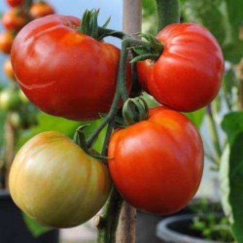 Portal Cool Las semillas del paquete Nepal tomate Org/Ã/¡nica