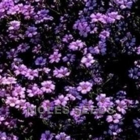 Blume Mesembryanthemum Magic Carpet Mischung 2000 Samen