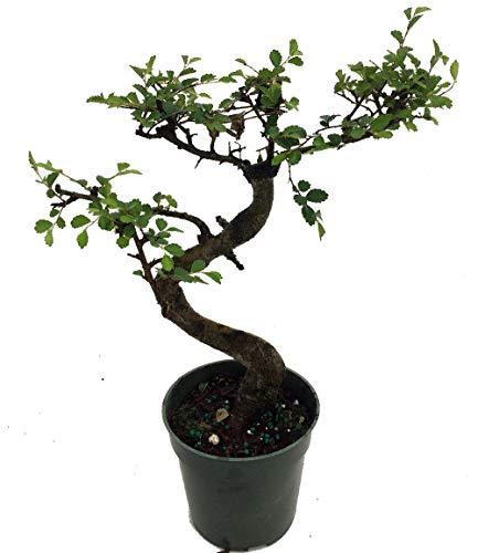 - Stylized Imported Japanese Zelkova Bonsai Tree - 4