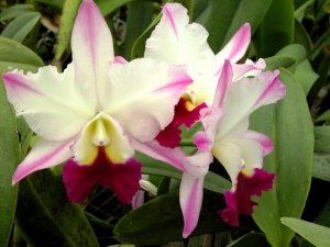 Sale - 3 Large Live Orchids Plants(Cattleya,Oncidium,Dendrobium) by Angels Orchids (Image #7)