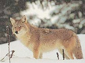 Delta Tru - Life Eastern Series Small Game - Coyote