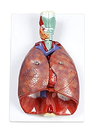 Walter Products B10427 Human Respiratory System Model, Life Size, 7 ...