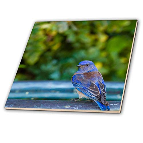 3D Rose Western Bluebird Perched on a Backyard Bird Bath Ceramic Tile, Multicolor