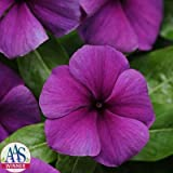 Vinca - Jams 'n Jellies Blueberry - All-America Selections Winner - Purple/Blue Flower Seeds - 250 Seeds