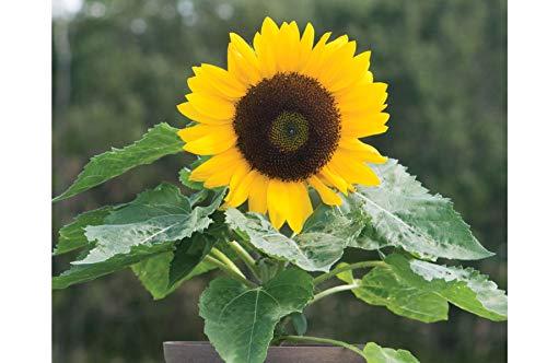 (David's Garden Seeds Sunflower Sunny Smile SV1805 (Yellow) 25 Non-GMO, Hybrid Seeds)