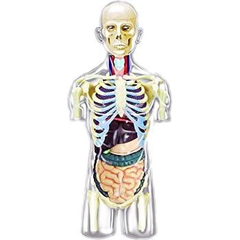 Amazon 4d Master Transparent Human Anatomy Torso Model Kit One