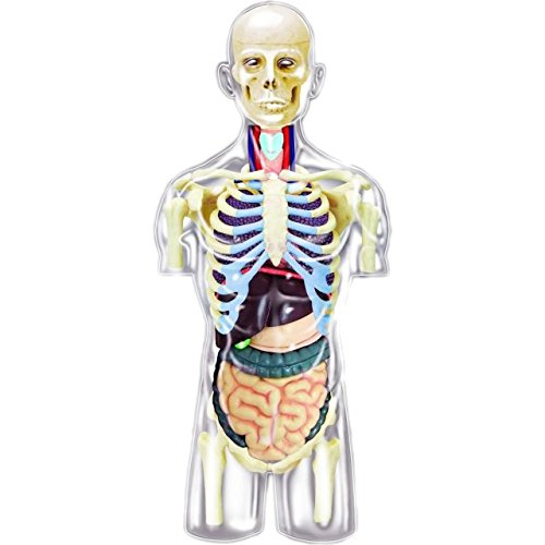 4D Master Transparent Human Anatomy Torso Model Kit, One Color