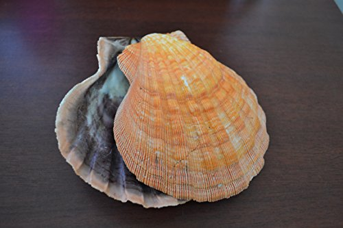 2 Pcs Orange Lion Paw Clam Dish Scallop Beach Sea Shell Pair 5 - 5 1/2