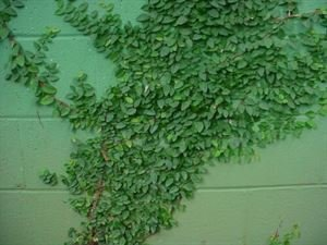 (10 count flat - 4.5'' pots), Ficus pumila Creeping Fig, Small, dark green textured leaves, low growing, tight foliage, great wall climber, prefers well-drained soil. Light foot traffic.