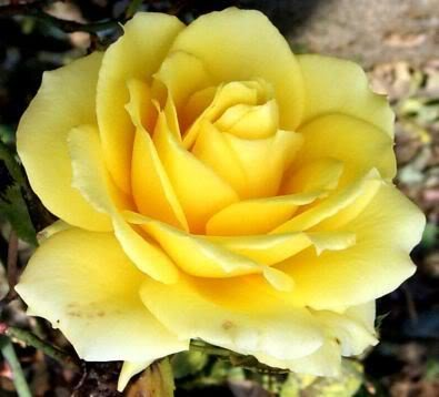 5 YELLOW ROSE Rosa Bush Shrub Perennial Flower Seeds *Comb S/H