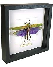 Titanacris albipes – Sprinkhaan – Echt opgezet insect gemonteerd onder glas in handgemaakte zwart houten lijst