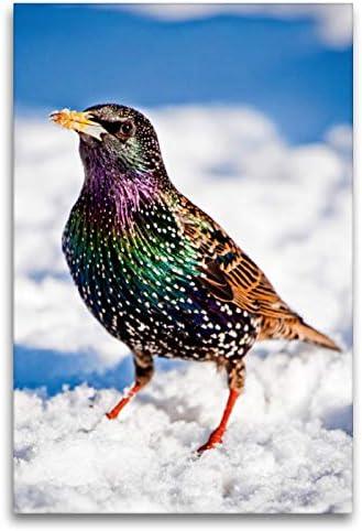 CALVENDO Lienzo 80 cm x 120 cm de Alto, Star en su magnífico Vestido de Invierno de Colores en Paisaje nevado Imagen de Star (Sturnus vulgaris) Animales