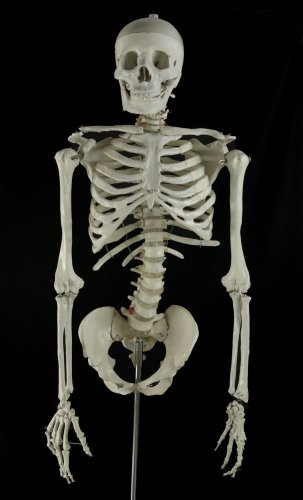 Bucky Torso With Arms (4th Quality) (Skeleton Bucky)