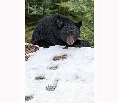 Amazon.com: Black Bear in Snow - Wildlife Photography
