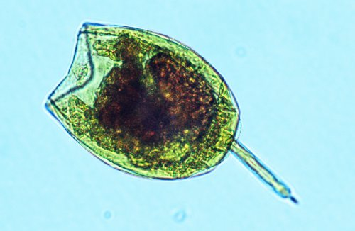 Picture of FTCo. Rotifer Delight (20oz) - Live Rotifers