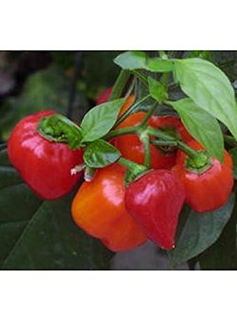 sehr scharfer Chili /'Scotch Bonnet/' 10 Samen Tropischer Capsicum chinense