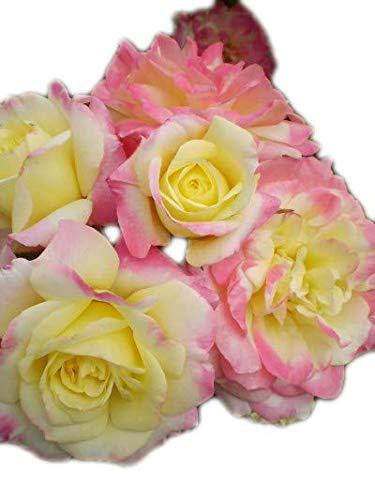 Easy Elegance Rose Music Box > Rosa 'BAIbox' >Landscape Ready 2 Gallon Container