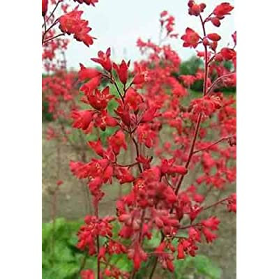 100 HEUCHERA Firefly Red Coral Bells Flower Seeds : Garden & Outdoor