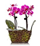 Plants - Wood Twig Mini Duo Orchid