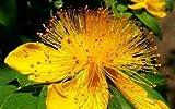 Hypericum calycinum ST JOHNS WORT Seeds!