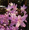 (Liner/Starter Plant) 'Mildred Mae' AZALEA, Long-time Favorite. Abundant, Pale Lavender Single Blooms With Burgundy 'freckles', Cold Hardy, Attractive Fall Color. (Hydrangeas, Viburnums, Japanese Maples, Dogwood Trees, Crape Myrtles, Gardenia)