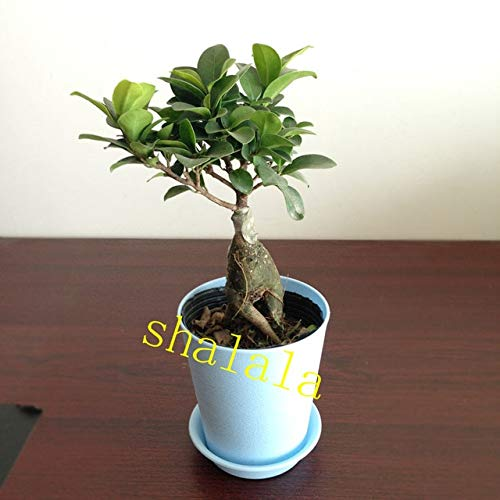 50 pcs Lovely Banyan Tree Bonsai Chinese Rare Ficus Microcarpa Tree Green Bonsai Refreshing Air Home Garden - (Color: -