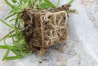 Gulf Kist 'Classic' St Augustine Grass Plugs - 36 Count by Gulf Kist (Image #3)