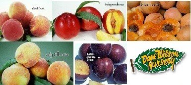 4-N-1 Fruit Salad Tree With 4 of These Varieties (July Elberta Peach, Gold Dust Peach, Independence Nectarine, Late Santa Rosa Plum, Blenheim Apricot)