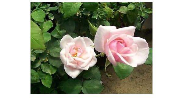 Recuerdo de St Anne de Pink Rose Bush planta earthkind rosas de 1950 zona 5 - 9.: Amazon.es: Jardín