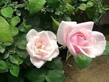 Recuerdo de St Anne de Pink Rose Bush planta earthkind rosas de 1950 zona 5 –