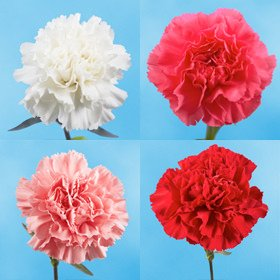 GlobalRose 300 Fresh Cut Valentine's Carnations - Fresh Flowers Express Delivery - Perfect Valentine's Day Gift by GlobalRose (Image #1)
