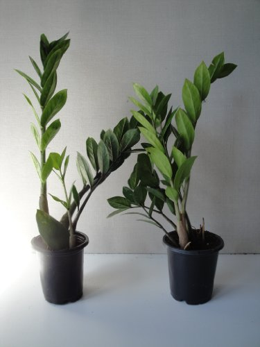 two-large-zz-plants-zamioculcas-zamiifolia-a-foot-tall-in-four-inch-pots-with-emeritus-care-sheet